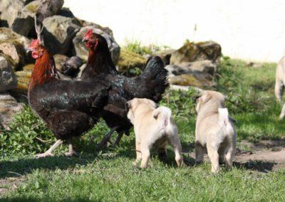 Hühnerbild